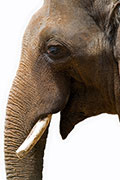 Elephants' Cancer-Crushing Secrets May Someday Help People